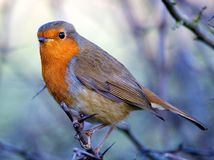 Robin. Red breast in Wintertime Royalty Free Stock Image