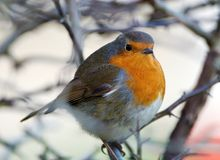 Robin. A winters day Robin Red Breast Royalty Free Stock Photography