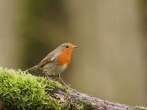 Robin. European Robin (Erithacus rubecula) on a twig white moss Royalty Free Stock Photos