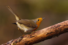 Robin Royalty Free Stock Image