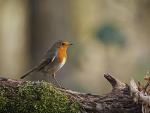 Robin. On branch of a tree rn Royalty Free Stock Photos