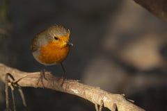 Robin. Sat on a perch Stock Photo