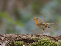Robin. On branch of a tree Stock Images