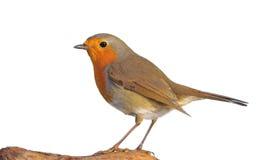 Robin. Royalty-vrije Stock Foto