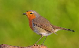 Robin. Royalty Free Stock Image