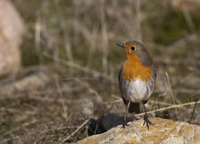 Robin. Is looking around on a piece of rock Royalty Free Stock Photography