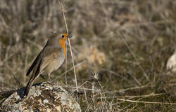 Robin. A robin is standing on a piece of rock royalty free stock photography