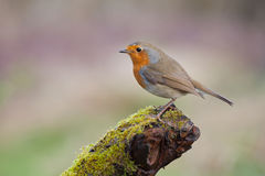 Robin. Photo of robin bird on the wooden stick Stock Image
