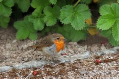 The Robin Royalty Free Stock Image