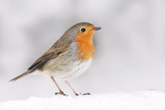 Robin Photographie stock