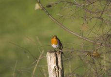 Robin Royalty Free Stock Photos