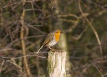 Robin images libres de droits