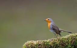 Robin royalty-vrije stock foto's
