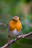 Robin royalty-vrije stock foto