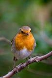 Robin Photo libre de droits