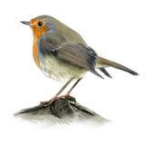 robin vector illustratie