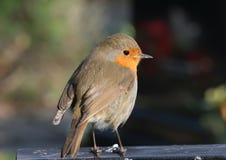Robin Photo stock