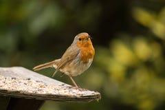 Robin 2 Royalty-vrije Stock Fotografie
