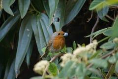 Robin 3 Stockfotografie