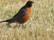 Robin鸟 图库摄影