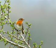 The Robin stock photo