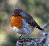 Robin Photo stock