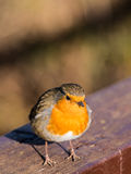 Robin鸟 库存照片