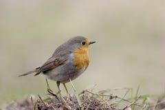 Robin Photos libres de droits