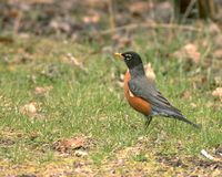 Robin Images stock