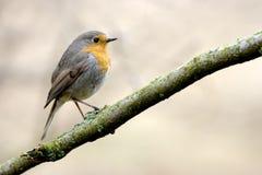 Robin στοκ εικόνες με δικαίωμα ελεύθερης χρήσης