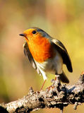 Robin. Bird on a bough, prepared to take off stock image