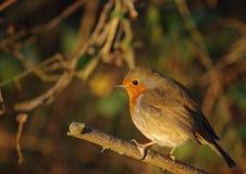 Robin Image libre de droits