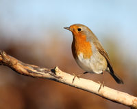 Robin. Cute red robin on a branch Royalty Free Stock Photography