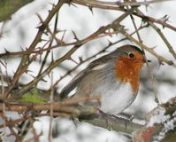Robin. A robin red breast on a tree Royalty Free Stock Images