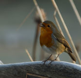 robin Foto de Stock Royalty Free