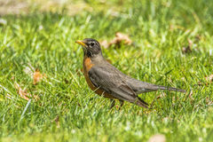 Robin 2319 Photo stock