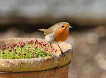Robin. Perched on an old flower pot Stock Photography
