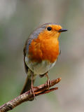 Robin. Beautyful bird with reddish-orange face and breast, reasting on a branch stock image