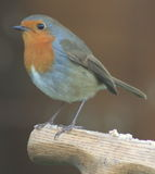 Robin Photos stock