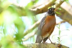 Robin in albero fotografia stock libera da diritti