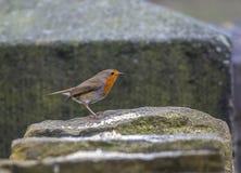 Robin alimentant sur des graines a laissé par nature des amants Images libres de droits