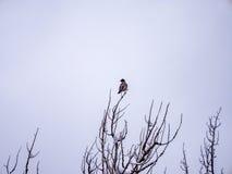 Robin Alone på snöig filial Arkivbild