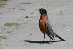 Robin américain Image libre de droits