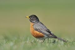 Robin américain photographie stock libre de droits
