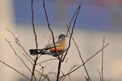 Robin américain : Migratorius de Turdus Images stock