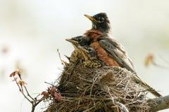 Robin américain, migratorius de Turdus Image stock