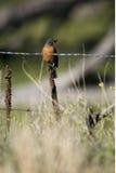 Robin américain, migratorius de Turdus Photo libre de droits