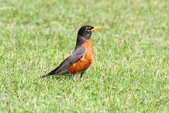 Robin américain (migratorius de Turdus) Photos libres de droits