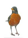 Robin americano Immagini Stock
