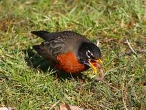 Robin americano Fotografia Stock